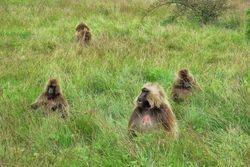 Gelada majmuni na Simien planinama