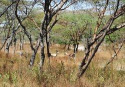 Gazele u savani Etiopije