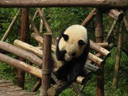 Panda centar - Sechuan - Chengdu