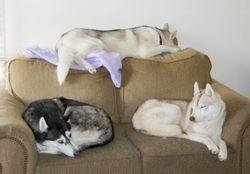 Sleeping Siberians