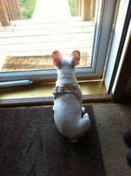 Watchin' over the yard, sporting her new harness :)