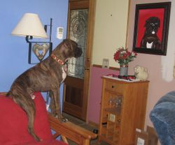 Samson 1yr admiring his portrait