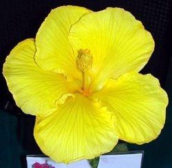 Saffron Sun, BEST COMMERCIAL SINGLE,  Dupont Nursery, Plaquemine, LA.