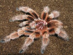 "Grammostola rosea ""red form"""