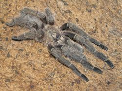 """Haploclatus sp. """"nilgirinus"""""""