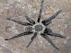 Haplopelma hainanum