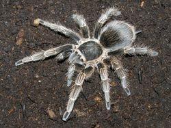 Pseudhapalopus spinulopalpus