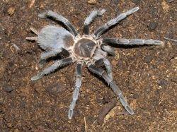 "Stichoplastoris sp. ""Costa Rica"""