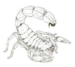 Androctonus sp.
