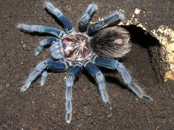 """Xenesthis sp. """"blue"""""""