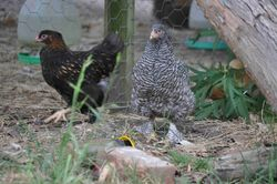 My first black barred (no middle toe feathering 10 wks)