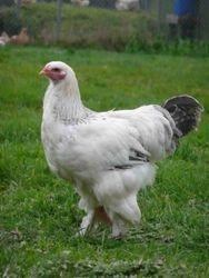 Light cockerel