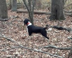 Ruger in the woods playing
