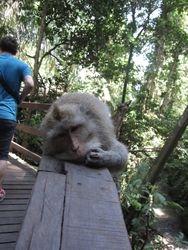 Monkey forst - Ubud