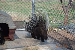 African created porcupine