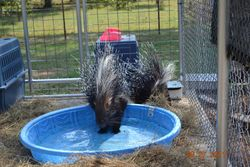 Africian Crested porcupine