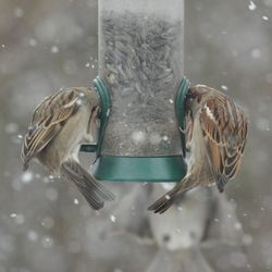 ALL IN... these two sparrows are REALLY hungry!