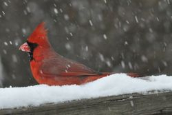 Masterful Mister Cardinal...