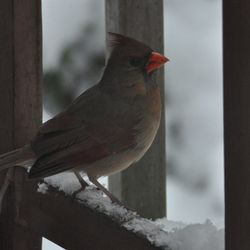 Female Cardinal... trapped!