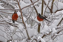Pair of robins in Dogwood...