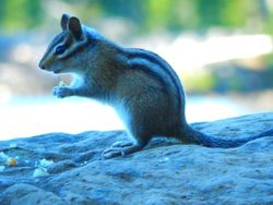 Chipmunk with the lake and trees in the back ground