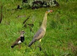 Whistling Heron, Syrigma sibilatrix