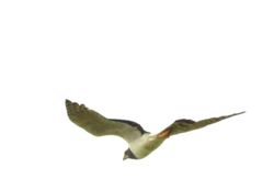 Long-winged Harrier, Circus buffoni