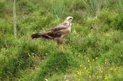 Savanna Hawk, Heterospizias meridionalis