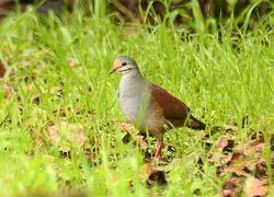 Buff-fronted Quail-Dove, Geotrygon costaricensis