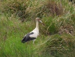 Maguari Stork, Ciconia maguari