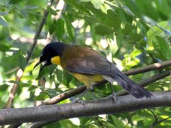 Blue-crowned Laughingthrush, Garrulax courtoisi