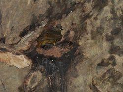 Guianan Cock-of-the-rock, Rupicola rupicola