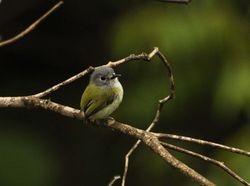 Short-tailed Pygmy-Tyrant, Myiornis ecaudatus
