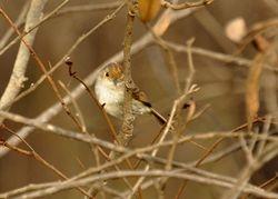 Tawny-crowned Pygmy-Tyrant, Euscarthmus meloryphus