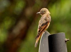 Cliff Flycatcher, Hirundinea ferruginea