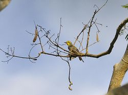 Yellow-browed Tyrant, Satrapa icterophrys