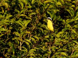 Yellow-throated Flycatcher Conopias parva