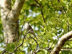 Crowned Slaty Flycatcher, Griseotyrannus aurantioatrocristatus
