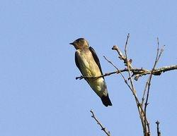 Tawny-headed Swallow, Stelgidopteryx fucata