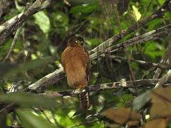 Tiny Hawk, Accipiter superciliosus