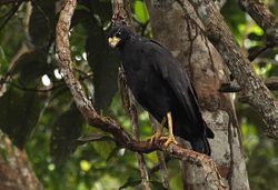 Great Black-Hawk, Buteogallus urubitinga