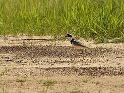 Pied Lapwing, Vanellus cayanus