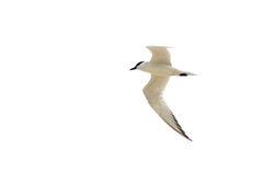 Gull-billed Tern, Gelochelidon nilotica