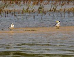 Large-billed Tern, Phaetusa simplex
