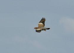 Picazuro Pigeon, Patagioenas picazuro