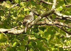 Scaled Dove, Columbina squammata