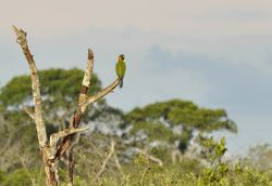 Golden-collared Macaw, Primolius auricollis