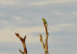 Red-shouldered Macaw, Diopsittaca nobilis