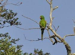 White-eyed Parakeet Aratinga, leucophthalmus