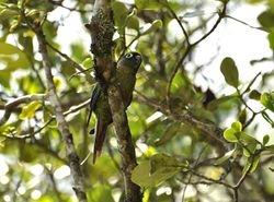 Maroon-bellied Parakeet, Pyrrhura frontalis